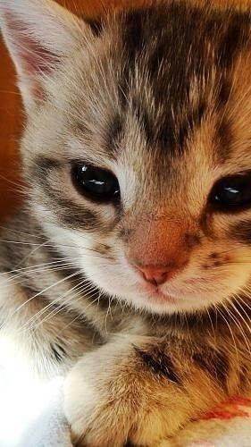 gattino 4